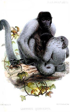 Woolly monkey - L. lagotricha