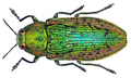 Lamprodila rutilans (Fabricius, 1777).png