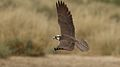 Lanner falcon, Falco biarmicus, at Kgalagadi Transfrontier Park, Northern Cape, South Africa (34415577452).jpg