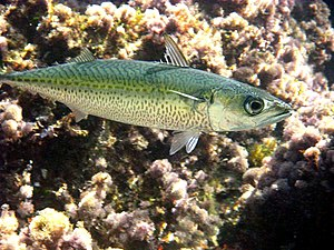Atlantic chub mackerel - Atlantic chub mackerel