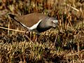 Lapwing Black-winged 2011 07 24 10 45 22 1094.jpg