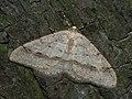 Larerannis orthogrammaria ♂ (40033032155).jpg