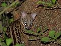 Large-spotted Genet (Genetta tigrina) (13960930416).jpg