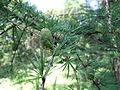 Larix decidua in Odessa Botanical garden.jpg