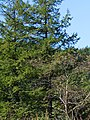 Larix gmelinii Sakhalin.jpg