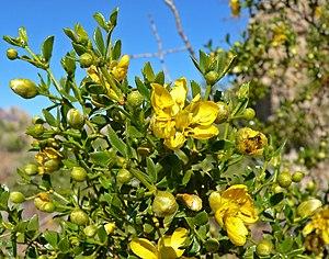 Zygophyllaceae - Larrea tridentata