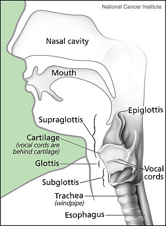 Subglottis - This diagram shows the location of the subglottic region in the throat