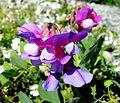 Lathyrus japonicus no.jpg