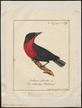 Leïstes militaris - 1700-1880 - Print - Iconographia Zoologica - Special Collections University of Amsterdam - UBA01 IZ15800257.tif