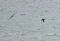 Leach's Storm Petrel escapes Merlin 4.jpg