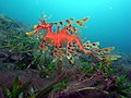 Leafy Sea Dragon-Phycodurus eques (23694746864).jpg