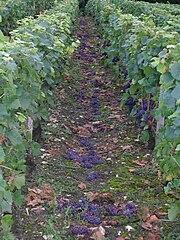 Photographie montrant du raisin jeté à terre après une vendange en vert.