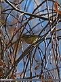 Lemon-rumped Warbler (Phylloscopus chloronotus) (16573215402).jpg