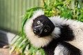 Lemur (24676932768).jpg