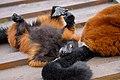 Lemur (26992283618).jpg