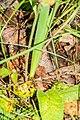 Leopoldia comosa in Causse Comtal (2).jpg