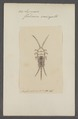 Lepisma - Print - Iconographia Zoologica - Special Collections University of Amsterdam - UBAINV0274 067 05 0002.tif