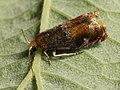 Lepteucosma huebneriana (40565833214).jpg