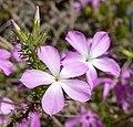 Leptodactylon californicum 2.jpg