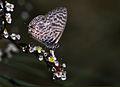Leptotes pirithous - Lang's Short-tailed Blue - Mavi Zebra.jpg