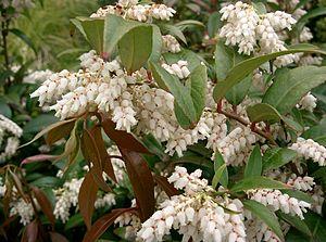 Leucothoe (plant) - Leucothoe axillaris