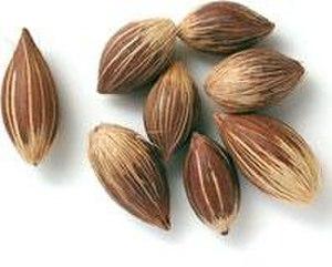 Syagrus coronata - Licuri palm nuts