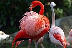 Flamingo Amerika (Phoenicopterus ruber), dan Flamingo Chili (P. chilensis)
