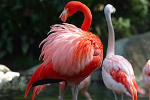 A Caribbean Flamingo (Phoenicopterus ruber), with Chilean Flamingos (P. chilensis) in the background