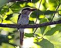 Lilac-cheeked Kingfisher (Cittura cyanotis).jpg