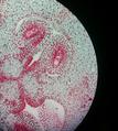 Lilium Ovule - Mature Embryo.png