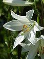 Lilium candidum 'Madonna lily' (Liliaceae) flower.JPG