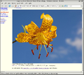 Lily Lilium 'Citronella' Flower screenshot-1.png