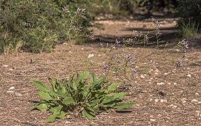 Limonium vulgare narbonense, Vic-la-Gardiole.jpg