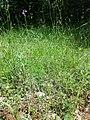 Linaria pelisseriana sl7.jpg
