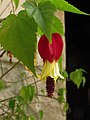 Linterna china - Abutilon megapotamicum (21436735786).jpg