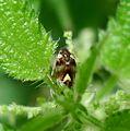Liocoris tripustulatus. Hemiptera - Flickr - gailhampshire.jpg