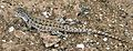 Liolaemus nigromaculatus juvenile - ZooKeys-294-037-g006-D.jpeg