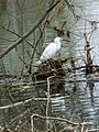 Little Egret (Egretta garzetta), Wimborne - geograph.org.uk - 1116375.jpg