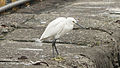 Little Egret in West Shore of Keelung Port 20131227.jpg