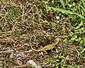 Local Lizard lying egg 01.jpg
