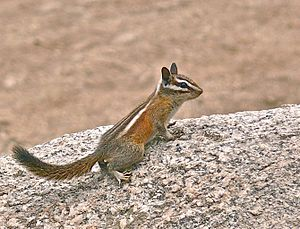 Mount San Antonio - A chipmunk.