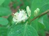 Lonicera xylosteum.jpeg