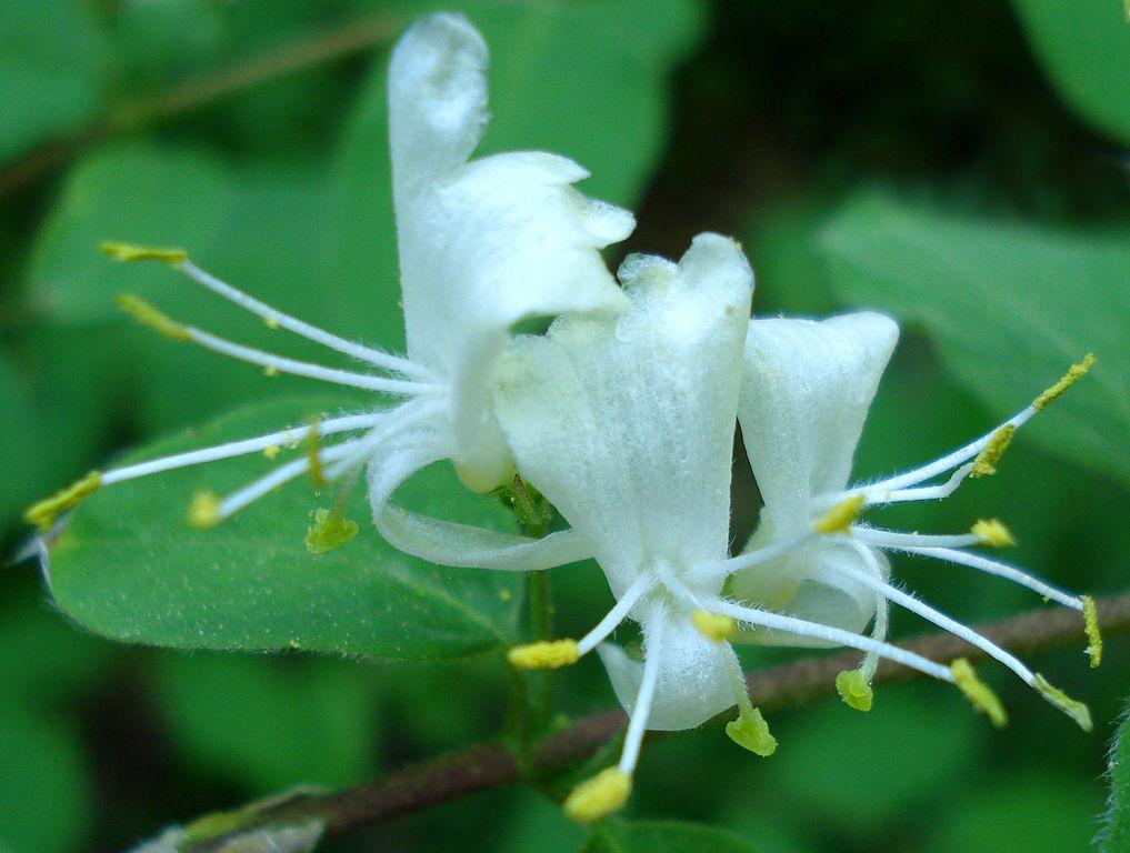 Zemolez obyčajný - kvety