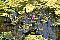 Lotus flowers.jpg
