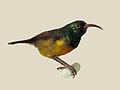 Loveridges Sunbird specimen RWD.jpg
