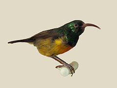 Loveridges Sunbird specimen RWD.jpg