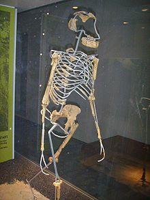 Lucy ( Australopithecus )