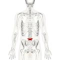 Lumbar vertebra 4 posterior.png