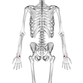 Lunate bone 02 dorsal view.png