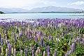 Lupinus sp. at Lake Tekapo, New Zealand 05.jpg